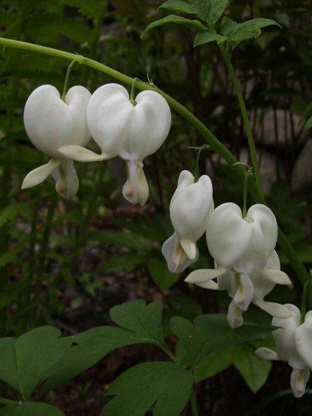 """Hearts of Spring"" (Milford, Pennsylvania, 2008)"